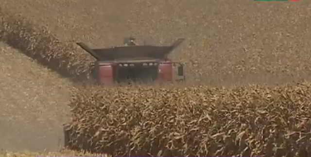 Кукуруза на капельном орошении